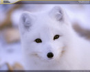 Screensaver National Geographic Polar Animals